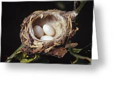 Magnificent Hummingbird Eggs Greeting Card
