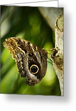 Magnificent Owl Butterfly Greeting Card