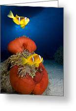 Magnificent Red Anemone With Anemone Fish Greeting Card