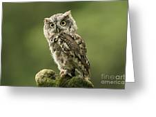 Magnifique  Eastern Screech Owl Greeting Card