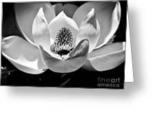 Magnolia Bloom 2bw Greeting Card