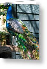 Magnolia Gardens Peacock Greeting Card