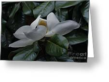 Magnolia In Full Bloom Greeting Card