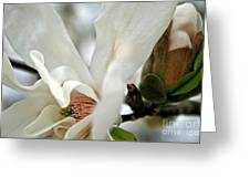 Magnolia One Greeting Card