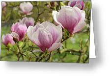 Magnolia X Soulangeana Flowers Greeting Card