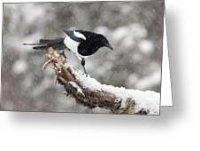 Magpie Out On A Branch Greeting Card by Tim Grams