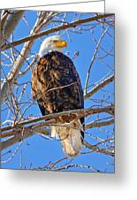 Majestic Bald Eagle Greeting Card by Greg Norrell