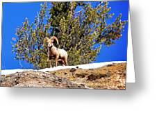 Majestic Big Horn Sheep Greeting Card