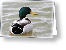 Majestic Mallard - Duck Greeting Card