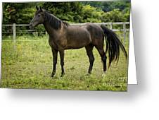 Majestic Stallion Horse In A Pasture Greeting Card