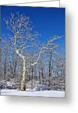 Majestic Sycamore In Winter Greeting Card