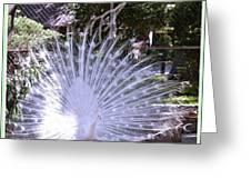 Majestic White Peafowl Greeting Card