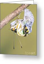 Malachite Butterfly Emerging 4 Of 6 Greeting Card
