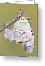 Malachite Butterfly Emerging 6 Of 6 Greeting Card