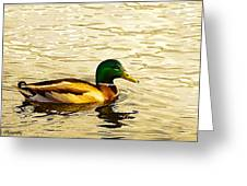 Malard Drake In Golden Light Greeting Card