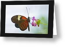 Malay Lacewing Greeting Card
