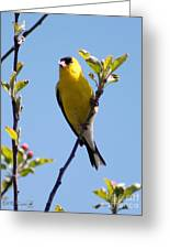 Male American Goldfinch Gathering Feathers For The Nest Greeting Card