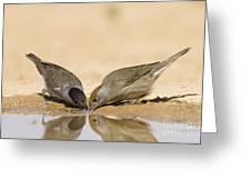 Male And Female Eurasian Blackcap Greeting Card