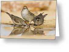 Male And Female Eurasian Blackcaps Greeting Card
