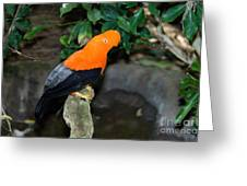 Male Andean Cock-of-the-rock Greeting Card