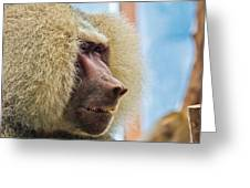 Male Baboon Greeting Card