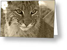 Male Bobcat - Sepia Greeting Card