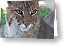 Male Bobcat1 Greeting Card