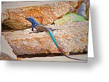 Male Bonaire Whiptail Lizard Greeting Card