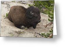 Male Buffalo At Hot Springs Greeting Card