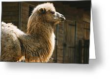 Male Camel Head Greeting Card