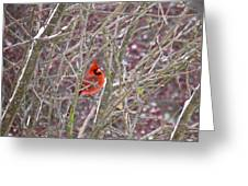 Male Cardinal Cold Day 2 Greeting Card