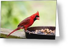 Male Cardinal Dinner Time Greeting Card
