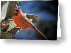 Male Cardinal  Greeting Card