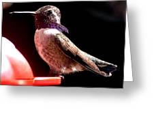 Male Costa Hummingbird On Perch Greeting Card