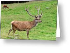 Male Deer On Field Greeting Card