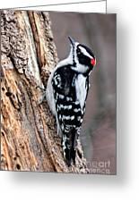 Male Downy Woodpecker Greeting Card