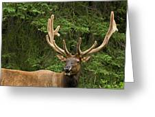 Male Elk, Bow Valley Parkway, Banff Greeting Card