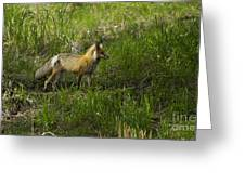 Male Fox   #3521 Greeting Card