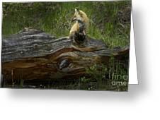 Male Fox   #3575 Greeting Card