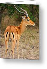 Male Impala With Horns Greeting Card