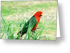 Male King Parrot  Greeting Card