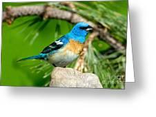 Male Lazuli Bunting Passerina Amoena Greeting Card