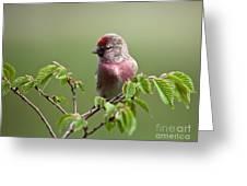 Male Lesser Redpoll  Carduelis Cabaret Greeting Card