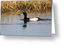 Male Lesser Scaup Greeting Card
