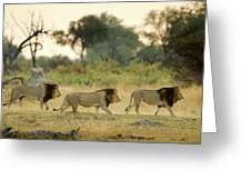 Male Lions At Dawn, Moremi Game Greeting Card