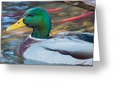 Male Mallard Duck  Greeting Card