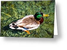 Male Mallard Swimming Greeting Card