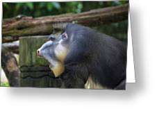 Male Mandrill Portrait Greeting Card