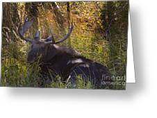 Male Moose   #3865 Greeting Card
