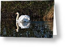 Male Mute Swan Greeting Card